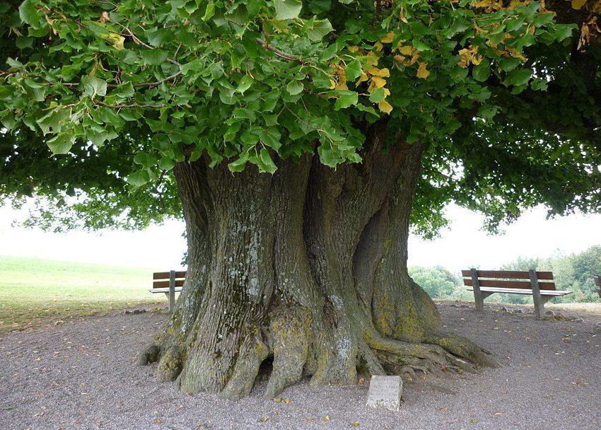 Man kann sich wunderbar unter der Krone der Linner Linde erholen. (Bild: Paebi, Wikimedia, CC)