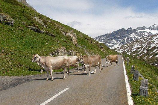 Kühe auf der Passstrasse in der Nähe vom Klausenpass, der die Kantone Uri und Glarus verbindet. (Bild: Nikater, Wikimedia, publick domain)